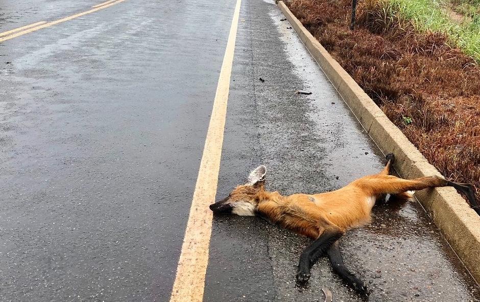 Em dois meses, quatro animais silvestres morrem atropelados em rodovia que corta a Chapada dos Veadeiros, em Goiás