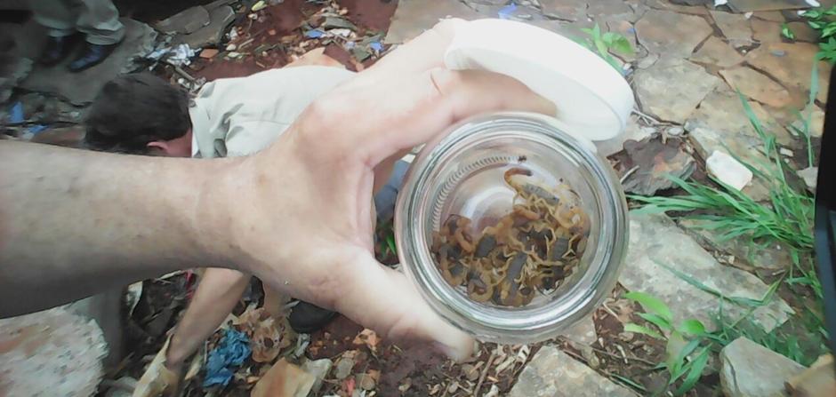 Mais de 70 escorpiões são capturados em casa no Conjunto Itatiaia, em Goiânia