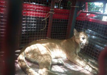Suçuarana é capturada após devorar mais de 30 galinhas em Itaberaí