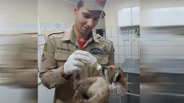 Bombeiros resgatam filhote de onça parda em Santa Helena de Goiás