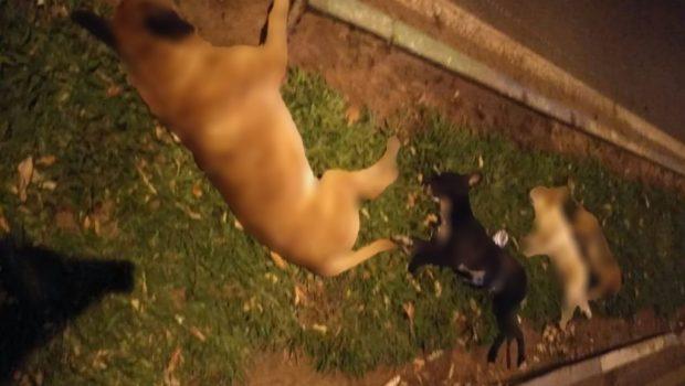 Morte de sete cães encontrados nas ruas de Sanclerlândia será investigada pela Polícia Civil