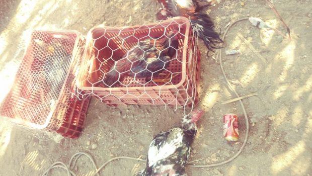 PM flagra rinha de galo e resgata 30 aves em casa no Jardim Marques de Abreu, em Goiânia