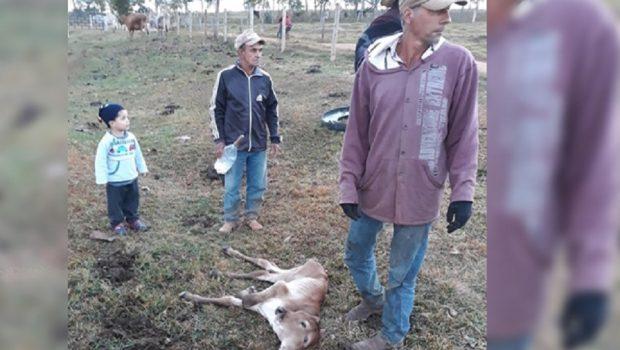 Bezerro com duas cabeças nasce em fazenda, em Caiapônia