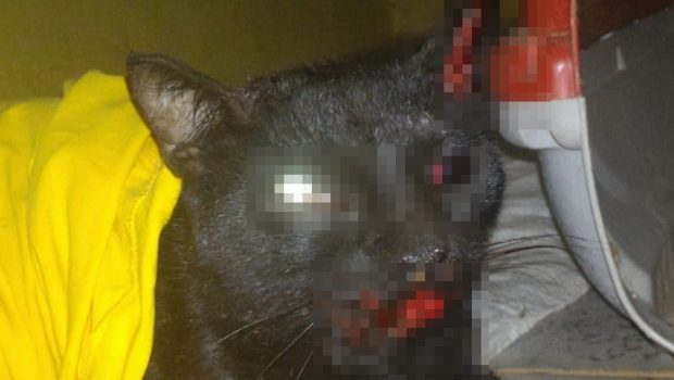 ONG precisa de doação para cirurgia de gato atropelado no Parque Amazônia