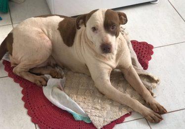 Cadela pitbull é resgatada com sinais de maus-tratos em Jataí