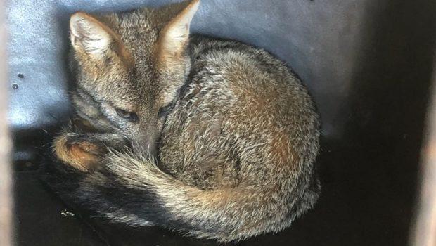 Após ser tratada, raposa que foi atropelada volta recuperada para o Parque de Caldas Novas