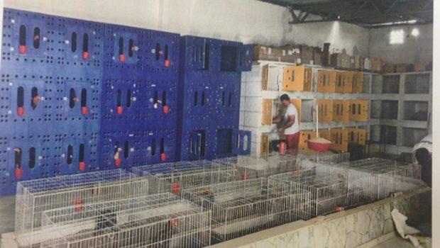 Polícia Civil apreende 160 galos que eram treinados para rinha em Alexânia