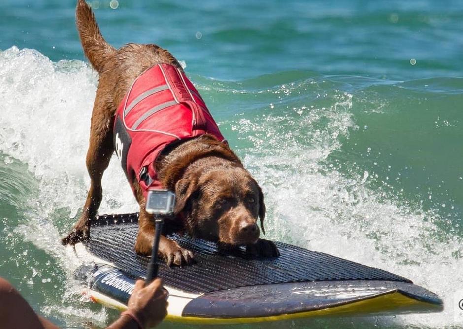 Bono, o cão surfista carioca, treina para pegar um tubo na piscina de Kelly Slater
