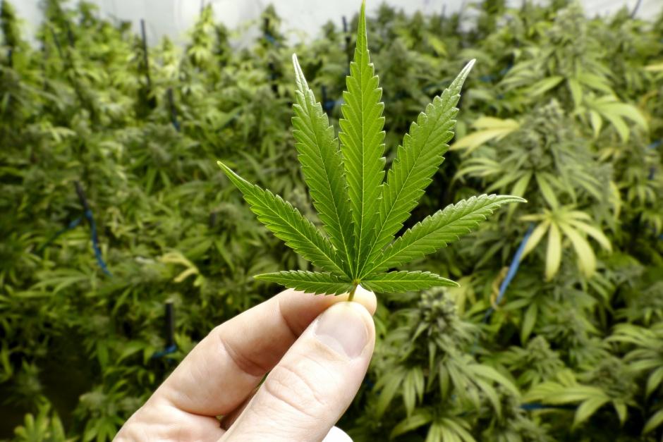 Descriminalização de cultivo de maconha medicinal avança no Senado