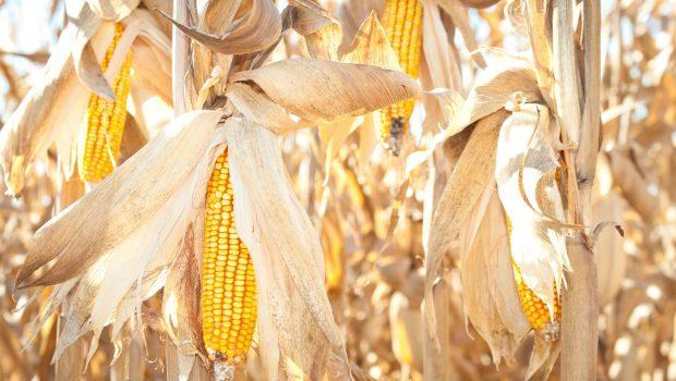 Goiás terá safra de milho 19,5% maior, diz Conab