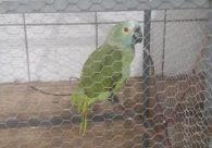 Papagaio avisa sobre chegada da PM em ponto de tráfico e é apreendido, no Piauí