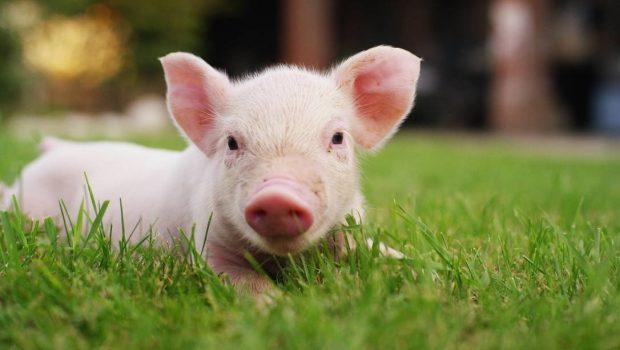 A volta dos porcos vivos: cientistas recuperam atividade cerebral de suínos mortos