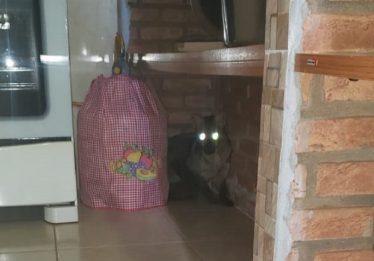 Corpo de Bombeiros captura raposa em residência, em Rio Verde: veja o vídeo