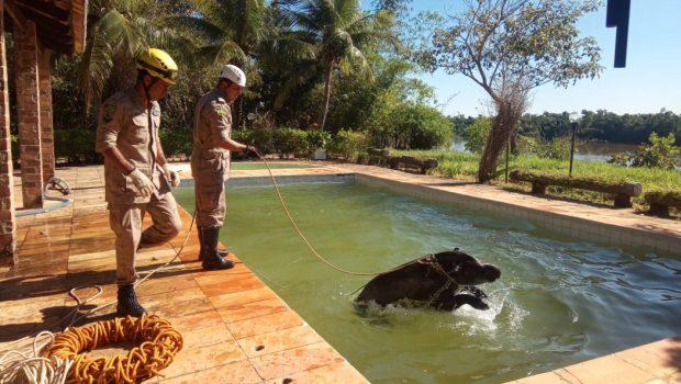 Anta é resgatada em piscina no Distrito de Itacaiú