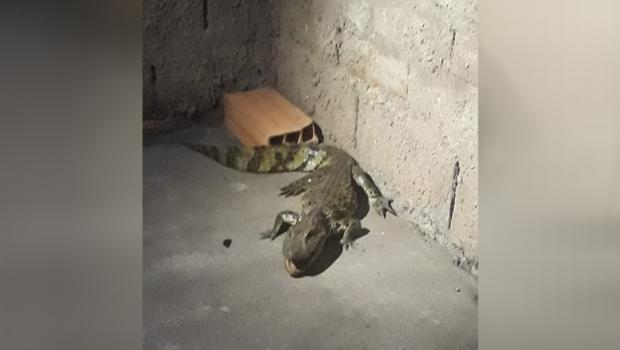 Jacaré é encontrado no quintal de uma casa em Morrinhos