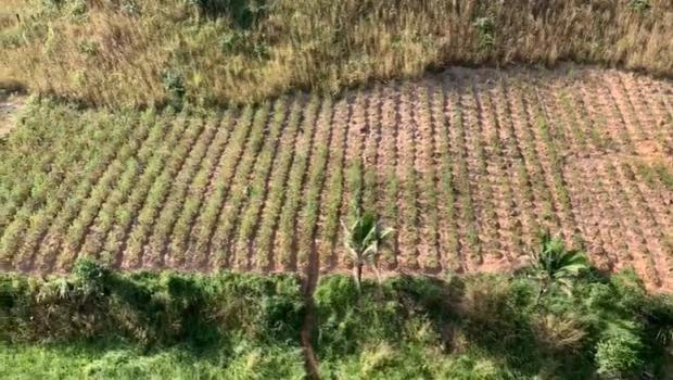 Mais 5 mil pés de maconha são encontrados pelo Graer, em Niquelândia