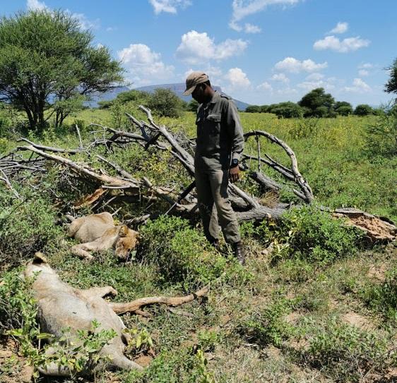 Homem é devorado por dois leões na África do Sul